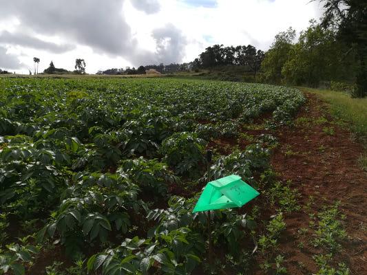 Trampas con feromonas para evaluar incidencia de polilla en cultivos