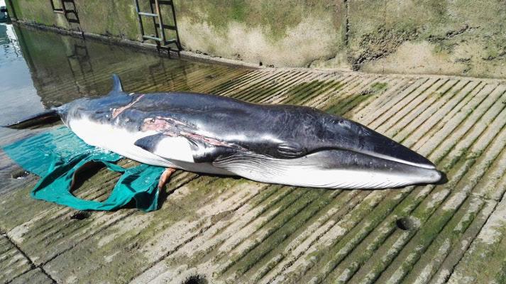 Varamientos de cetáceos durante los más de 50 días de confinamiento