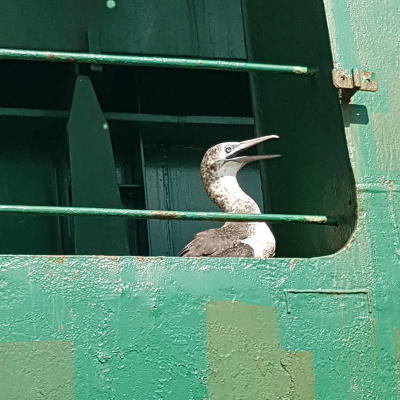 El Cabildo libera un hermoso alcatraz atlántico que llegó en barco