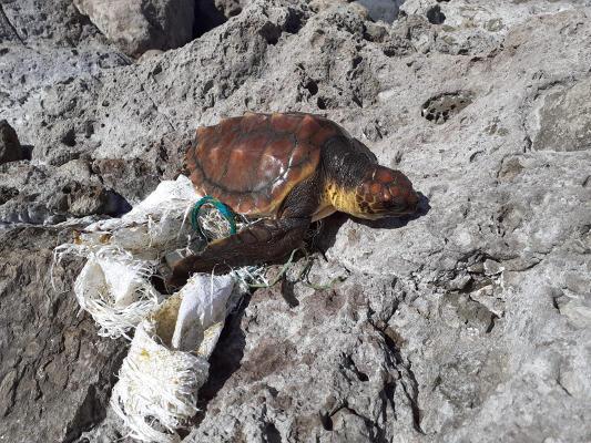 Llega al centro de recuperación una tortuga de 38 kilos