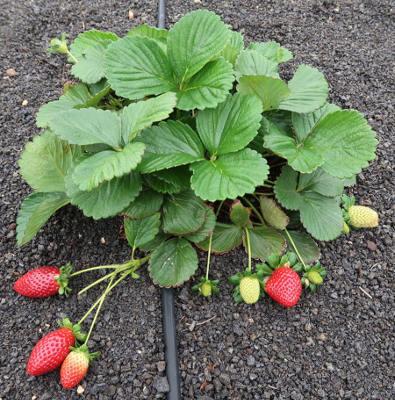 En marcha una nueva campaña para incentivar el cultivo de fresas